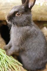 Zuzu's dirty face. (Tjflex2) Tags: pet rabbit bunny tunnel lapin dirtyface