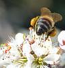 honey bee on blackthorn (conall..) Tags: flower colour macro bee pollen load blackthorn prunus prunusspinosa dcr250 raynox spinosa 300416