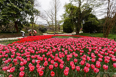 20160413-48-Spring flowers (Roger T Wong) Tags: travel flowers holiday japan kyoto tulips canonef1740mmf4lusm botanicgardens 2016 canon1740f4l canoneos6d rogettwong