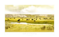 spirit of the living (l'esprit du vivant)2 (patrice ouellet) Tags: yellowstonenationalpark yellowstone bison sioux lutherstandingbear patricephotographiste spiritoftheliving lespritduvivant