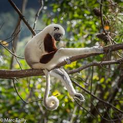 MarcTailly_mgb201508304138.jpg (hayastanlover) Tags: animals lemur mammals madagascar dieren primates primaten zoogdieren
