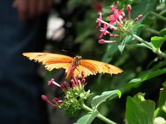DSCF3853 (tsvete alex) Tags: lake butterfly island bodensee constance mainau