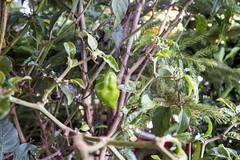 H504_3159 (bandashing) Tags: england plant hot green fruit garden manchester pepper foliage chilli sylhet bangladesh socialdocumentary naga hothothot aoa bandashing akhtarowaisahmed