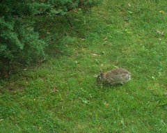 wilder2 (boltandfrolic) Tags: wild rabbit angels wilder boltandfrolic