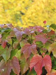 Autumn contrast (katrienberckmoes) Tags: autumn red colour tree beautiful leaves yellow contrast golden virginia background creeper parthenocissus