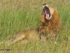 DSC_3843-b Resting Lion has a relaxing wide yawn, Nairobi National Park, Kenya. (GavinKenya) Tags: africa wild nature animal june john mammal photography gavin photographer kenya african wildlife july grand safari dk naturephotography kenyasafari africansafari 2015 safaris africanwildlife africasafari johngavin wildlifephotography kenyaafrica kenyawildlife dkgrandsafaris africa2015 safari2015 johnhgavin