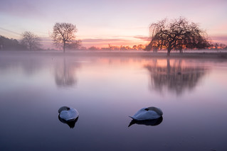 Swans, Bushy Park