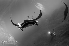 Action! (Lea's UW Photography) Tags: mexico underwater wideangle fisheye manta socorro boiler mantaray subal canon5dmk3 lealee canon815mm