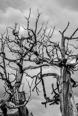 wood (Emma Gards) Tags: white black nikon noir mort ombre ciel lumiere d750 nuage arbre blanc bois ancien racine branche abstrait