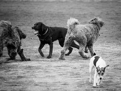 dogs being dogs ((robcee)) Tags: park bw toronto ontario canada dogs play action greenwood run 2016 geo:state=ontario geo:country=canada geo:city=toronto camera:make=olympusimagingcorp exif:make=olympusimagingcorp exif:focallength=150mm exif:aperture=ƒ28 camera:model=em1 exif:model=em1 exif:isospeed=200 exif:lens=olympusm40150mmf28