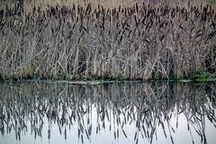 DSCF7587.tif (Ad Sebregts) Tags: reed river margriet