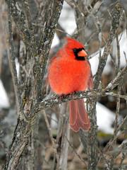 Northern Cardinal (gmspanek) Tags: cardinal northern