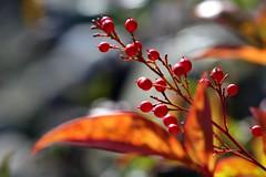 heavenly bamboo winter colors (HansHolt) Tags: winter red macro berries dof bokeh rood nandinadomestica heavenlybamboo bessen canonef100mmf28macrousm canoneos6d hemelsebamboe