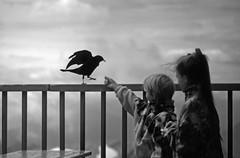 Alpendohle and RoRo explored (Bilderschreiber) Tags: two bw white black bird sw feed schwarz vogel füttern weis pyrrhocorax dohle alpendohle graculus