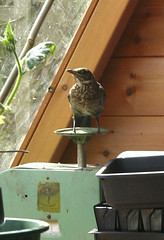 Thrush on the scales! (Janspen) Tags: thrush pottingshed