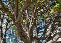 Adansonia-digitata_AlaMoanaPark-Honolulu_Cutler_20160108_150838 (wlcutler) Tags: hawaii oahu honolulu baobab alamoanapark adansonia adansoniadigitata