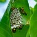Wasp's Nest, Mandorah
