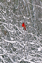 Cardinal In The Really-big Snow (+David+) Tags: snow cardinal snowybranches songbirdpond