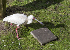 Spoonbill (Hans van der Boom) Tags: netherlands animal nederland nl safaripark beeksebergen noordbrabant spoonbill hilvarenbeek lepelaar buird hilarenbeek