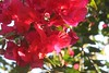 IMG_1702.CR2 (dernst) Tags: trinitarias bougainvilleas