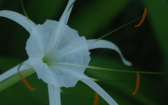Spider Lily up close (shelley.sparrow) Tags: summer nature garden whiteflower petals lily bokeh creative brisbane stamen queensland pollen spiderlily naturesbeauty shelleysparrow spiderlilyupclose