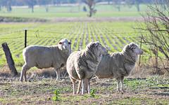 3 SHEEP Tungamah NSW (Katebirdgirl ~ Kate Carey Peters) Tags: animal sheep outdoor pastoral tungamah
