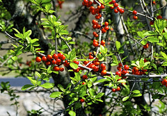 Possumhaw Holly (brucecarlson66) Tags: door light red orange sun sunlight plant flower color green leaves silver austin out landscape leaf branch texas berries bright outdoor country hill central grace holly foliage bark springs twig lit silvery sunlit dripping slender possumhaw