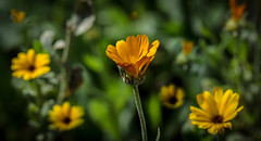 Golden Dreams!! (Good Nature One) Tags: orange flower macro green nature yellow goldendreams