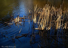 Reflections (Clare H Photography) Tags: park blue light reflection water sticks pond january straw