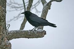 Crow (MacGuffin56) Tags: winter snow black bird crow avian apexnc