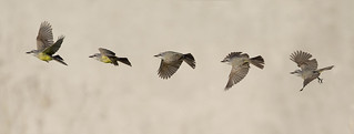 Tropical Kingbird Take off Sequence