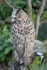 Turkemanian Eagle Owl (Bri_J) Tags: uk bird nikon sheffield yorkshire owl birdofprey southyorkshire eagleowl tropicalbutterflyhouse bubobuboturcomanus turkemanianeagleowl d7200