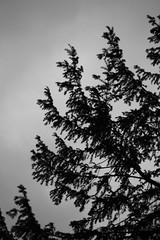 Tree silhouette (Joybot) Tags: uk shadow blackandwhite bw tree silhouette evening unitedkingdom branches evergreen fir coventry westmidlands