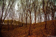 Srimongal, Bangladesh (arifmahamood) Tags: sky color tree rain dry jungle bangladesh srimongal