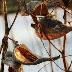winter's bone (beesquare) Tags: winter lighthouse nature natural lakeontario milkweed valentinesday portcredit creditriver snugharbour