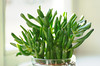 hobbit plant (Tagtraumhippie) Tags: sun plant green window sunny hobbit crassula ovata