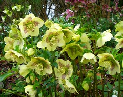 White Hellebores (oh.suzannah) Tags: winter woodland garden freckled hellebores