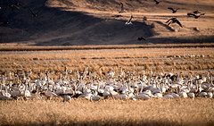 Winter Migration Lower Klamath NWR (F. Scalpi) Tags: ducks swans pacificflyway lowerklamathnwr snadhillcranes wintermigration
