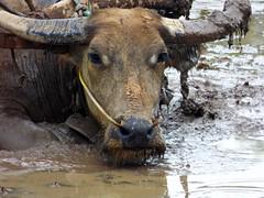 P1070003 (Franc Le Blanc .) Tags: bali animal lumix panasonic sawah karbouw