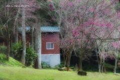 _DSC7001a-Nikon D300-Sigma 17-70mm-Virginia Chou (virginia1988) Tags: pink taiwan 台灣 櫻花 九族文化村 南投縣 中華民國 sigma1770mm 植物花卉 nikond300 virginiachou如