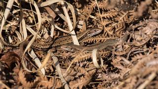 Common Lizard Pair