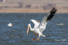American White Pelican fishing sequence - 4 of 20