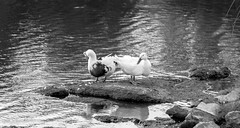 Ducky & Duck (thiluc) Tags: bw duck low res