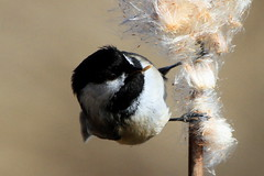 Part 2 Chickadee with lunch (Paridae) Tags: chickadee bulrush tule featheredfriends afewofmyfavouritethings parusatricapillus thingswithwings familyparidae birdsofbritishcolumbia birdsofboundarybay chickadeewithprey