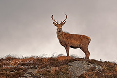 The Sentinel (2) (Shuggie!!) Tags: fauna scotland williams wildlife karl sutherland reddeer stags zenfolio karlwilliams