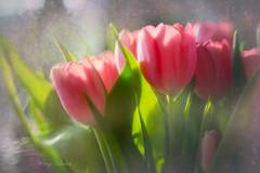 Tulips (kinga.lubawa) Tags: flowers flower colors canon pentacon kwiaty kolory tulipany kolorowe canon6d