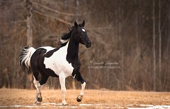 Bojek 2 (Hestefotograf.com) Tags: show friends summer horse white black girl norway bareback jump mare dress lets hannah go run riding pony barefoot welsh arabian elegant cob bestfriend rider equestrian canter equine pinto equus equipage skien