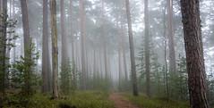 Hazy forest (Mika Laitinen) Tags: green nature misty fog pine suomi finland landscape helsinki wideangle fi hazy vuosaari uusimaa greatphotographers kallahti tokina1116mm canon7dmarkii