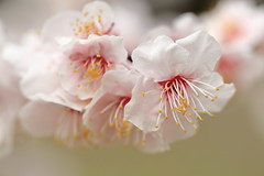 full blooming. (cate♪) Tags: ngc 梅の花 japaneseapricot