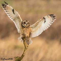 Balancing Act (coopsphotomad) Tags: shortearedowl animal bird nature wildlife birdofprey owl britishbird explored explore